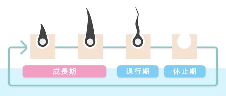 毛周期を解説したイラスト